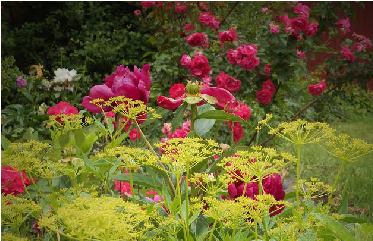 Yellow Golden Alexander, Zizia Aurea, Fronts A Japanese Peony And Tall,  Pink *Party Hardy* Rose Behind It For An English Cottage Garden Appearance.